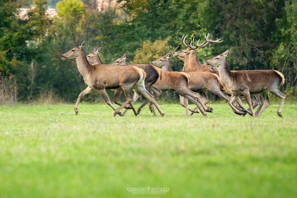 bramito dei cervi nel parco nazionale d'abruzzo