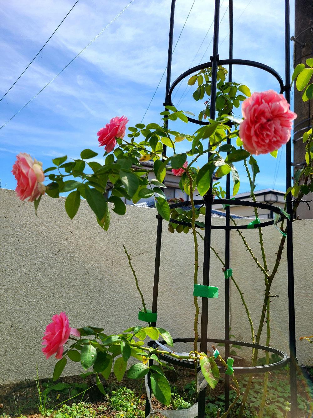 諫早 ピアノ教室 薔薇