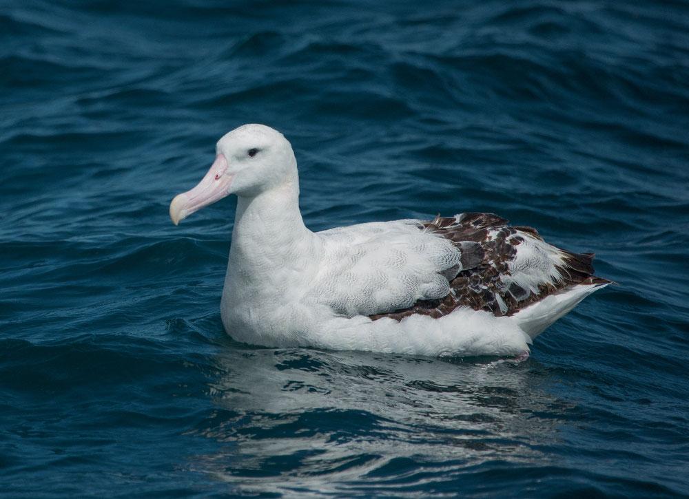Zu guter Letzt schipperte noch ein Albatros auf dem Wasser, der schwerste flugfähige Vogel mit der größten Flügelspannweite von 3,50 Metern!!