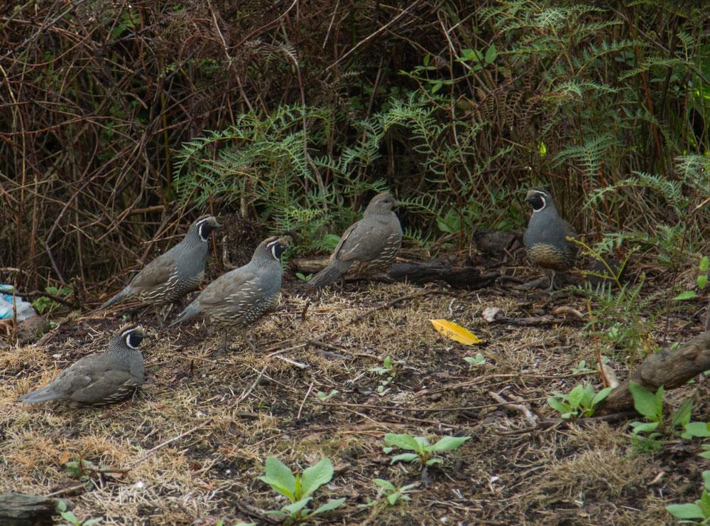 Unser Ziel war Rotorua, wo wir zur großen Freude gleich von einer Horde Pinnöppelhühnern willkommen geheißen wurden.