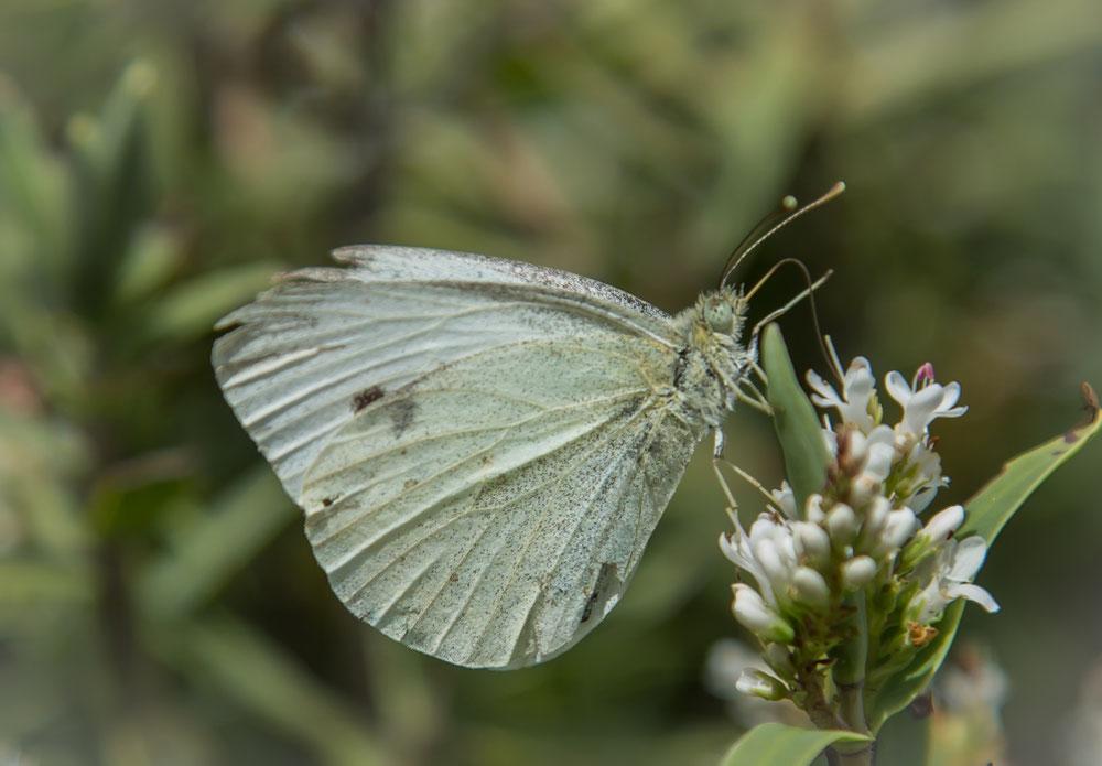 ... einer von tausenden Schmetterlingen ...