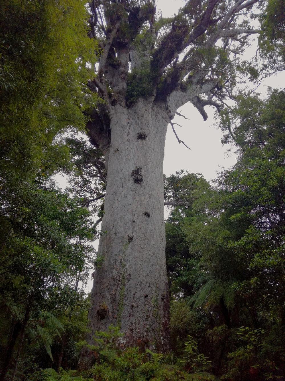51, 5 Meter hoch, 13, 8 Meter Umfang des Stammes, ca. 2000 Jahre alt.  Wunderschön die Maori-Sage dazu, die man auf dem Schild lesen kann, wenn man der englischen Sprache etwas mächtig ist 😉.  Da bleibt nur, sich aus Ehrfurcht vor der Schöpfung zu verneigen.