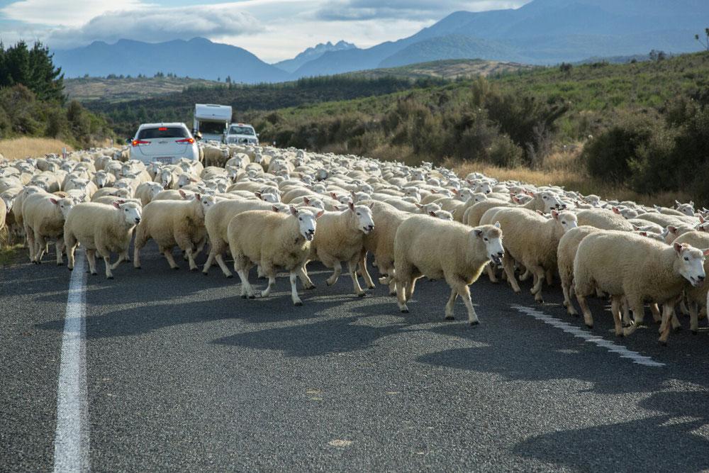 Schon die Fahrt dort hin war ein pures Erlebnis und das nicht nur wegen der landschaftlichen Gegebenheiten. Hier strömte wieder eine ganze Schafherde an uns vorbei, mitten auf der Straße.Aber wir haben ja Zeeeit ... 😁