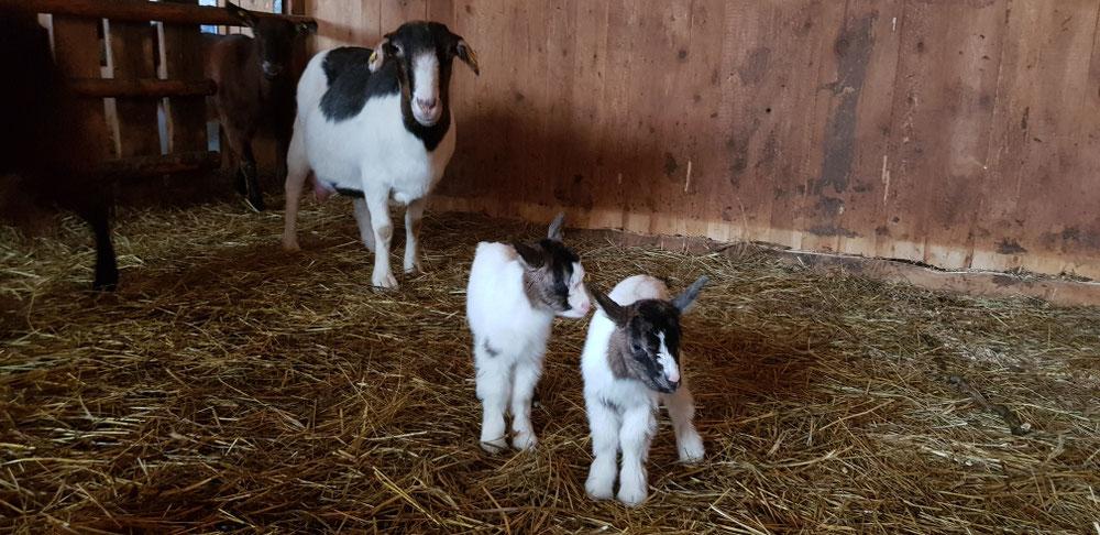 Doris mit ihren Zwillingen 🐐🐐
