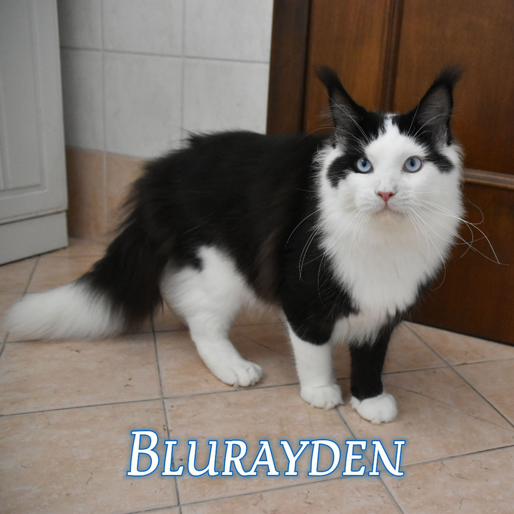 Maine coon black and white blue eyes TEST HCM SMA PKDEF N/N