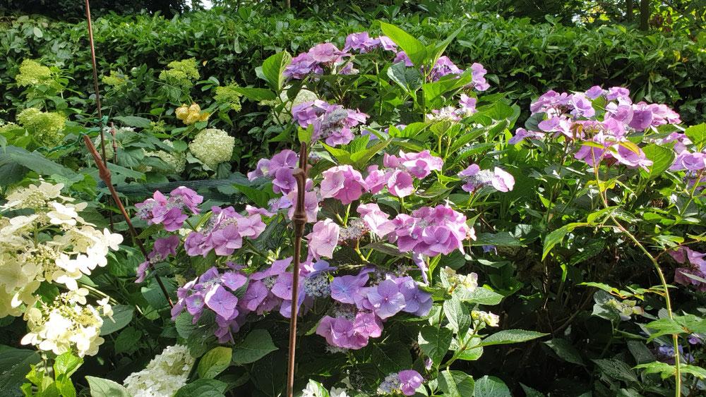 In diesem Jahr sind die Hortensien schön blau.