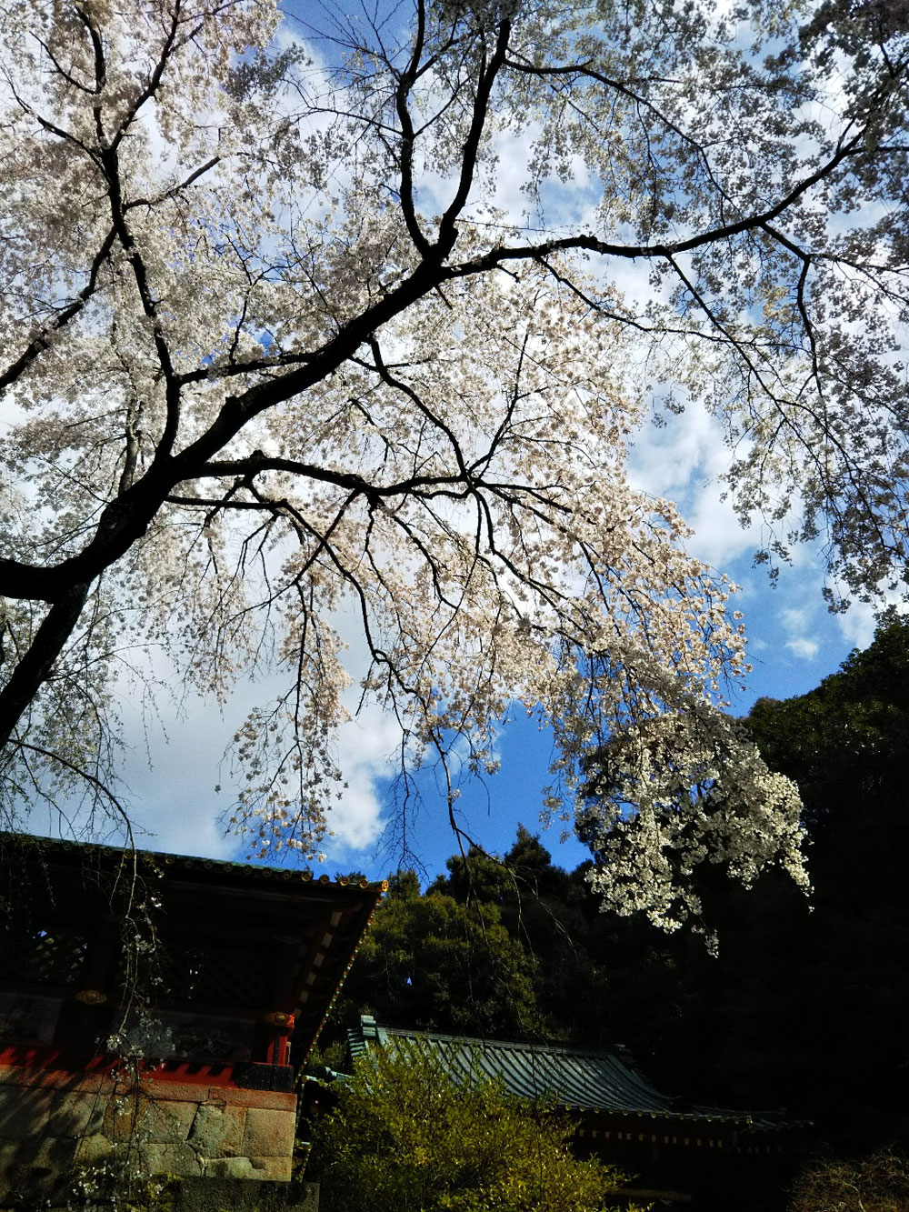 垂れ桜がきれいでした❗️