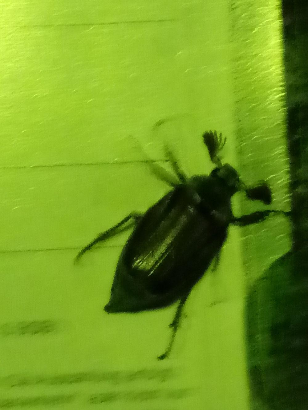 Dieser Geselle, ein Maikäfer :-)), ist mir letztens abends in die Wohnung gebrummt - habe mich erst total erschrocken, er war super laut u riesig. Dann hat er sich im Flur niedergelassen und ich habe ihn erkannt. Und dann im Glas nach draußen geleitet. Soll sein kurzes Käferleben doch genießen können! :-)