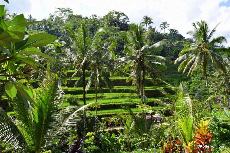 Tegalalang Reisterassen, Reisfelder, Bali