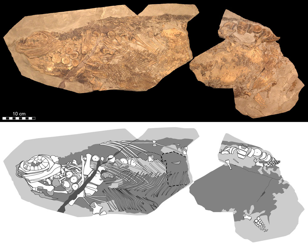 Ichthyosaur with blubber and skin