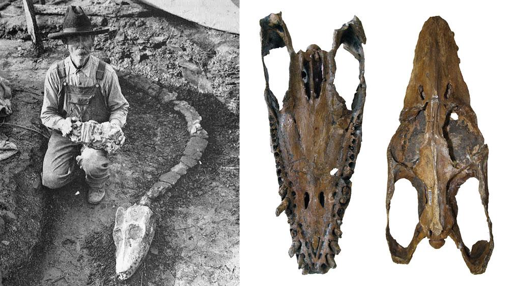 Libonectes morgani discovery skull