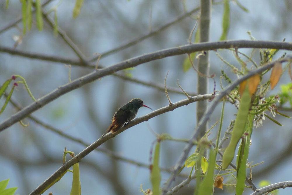 der kleinste Kolibri