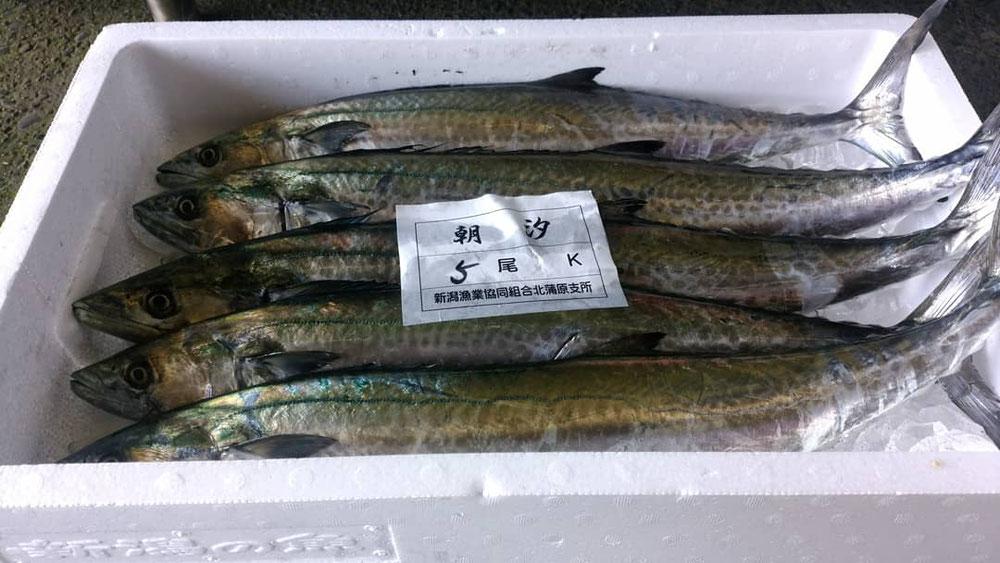 新潟北蒲原 さごし(鰆若魚)