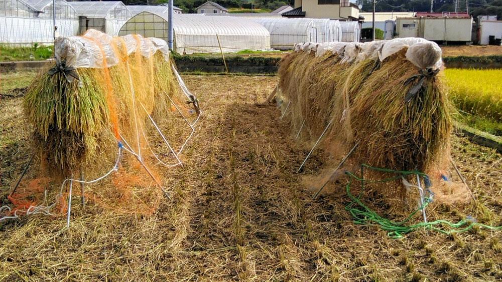 稲刈りをして、1週間程日干しをしました。