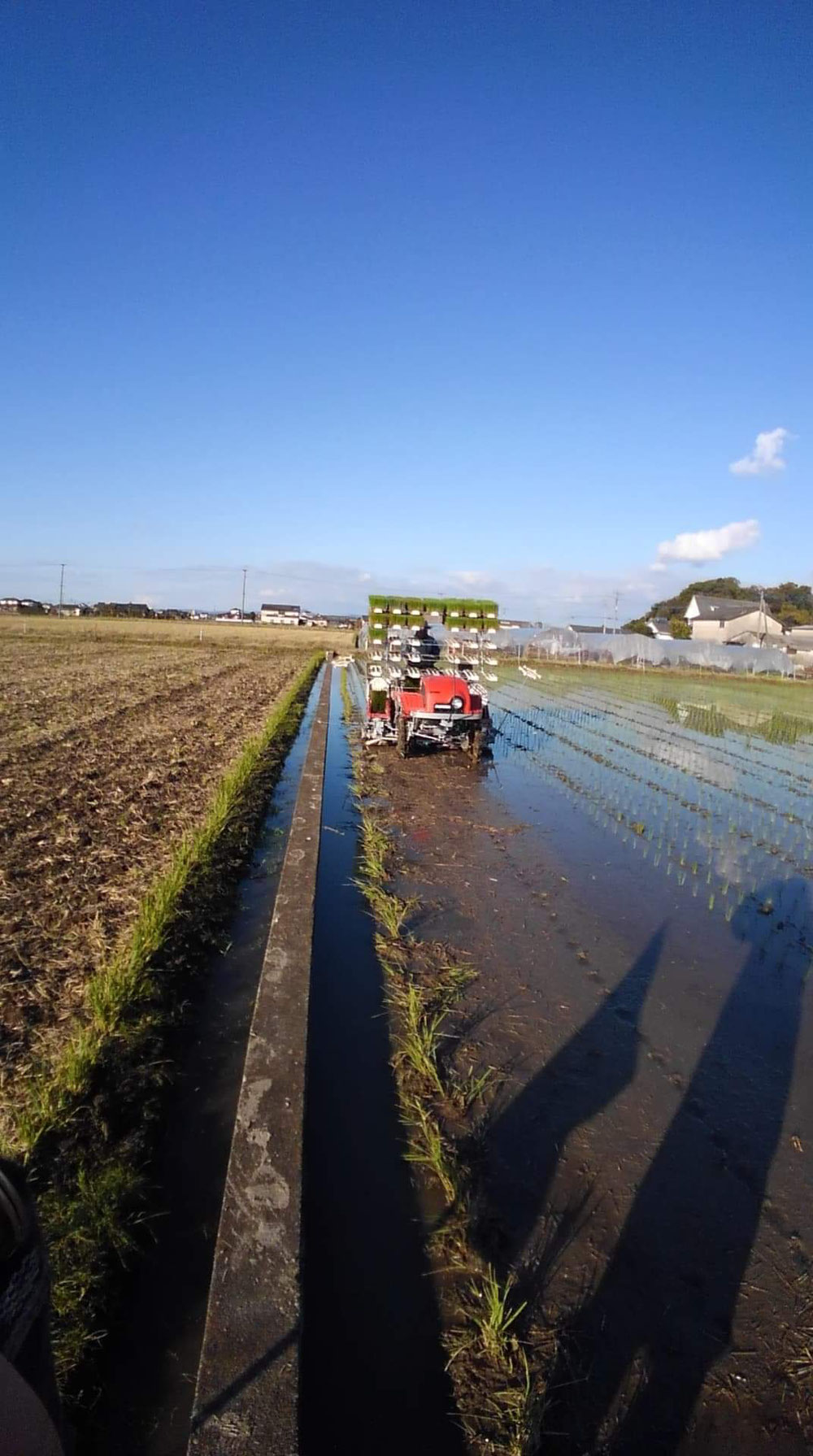 当店の契約栽培農地のい草の植え付け風景です。