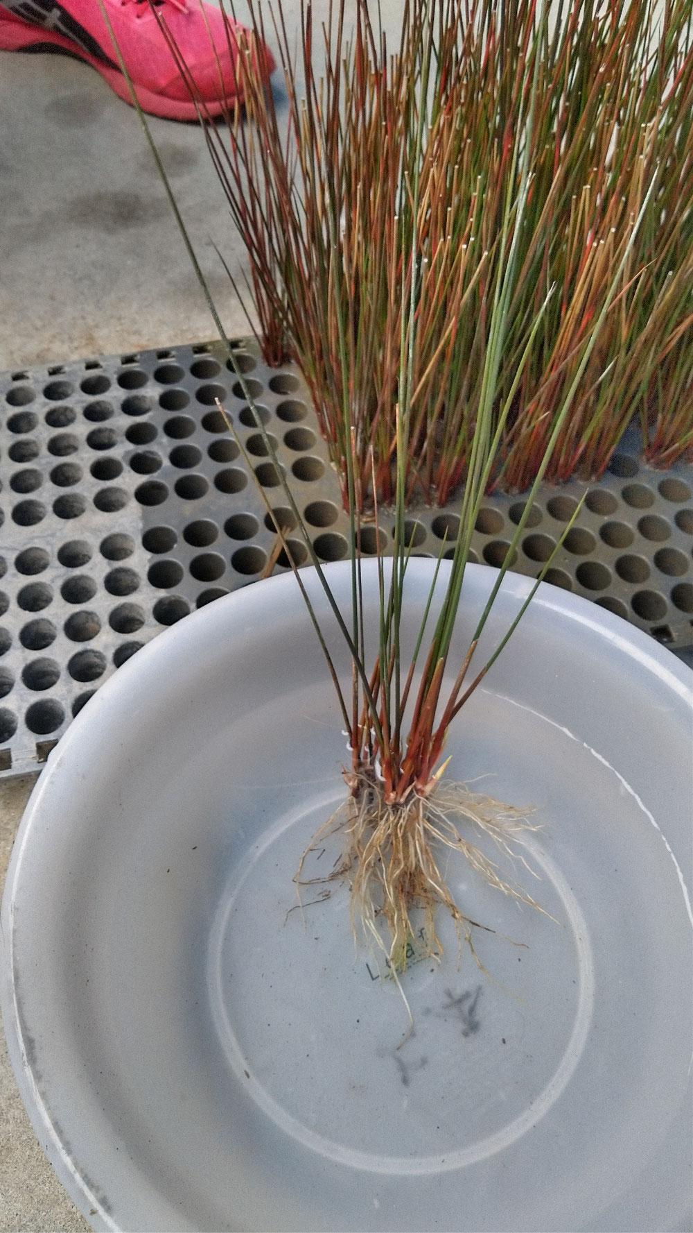 生産者様の上本様が12月に植え付けしたい草です。