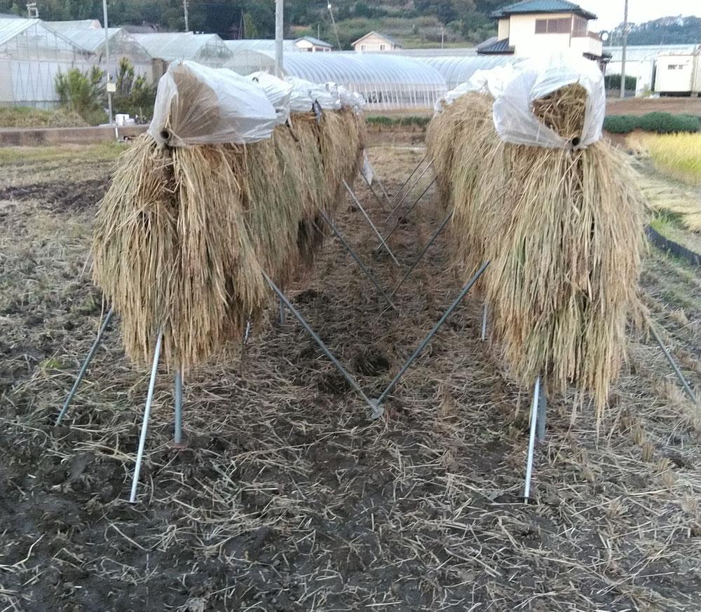 稲刈りと日干しをしました。