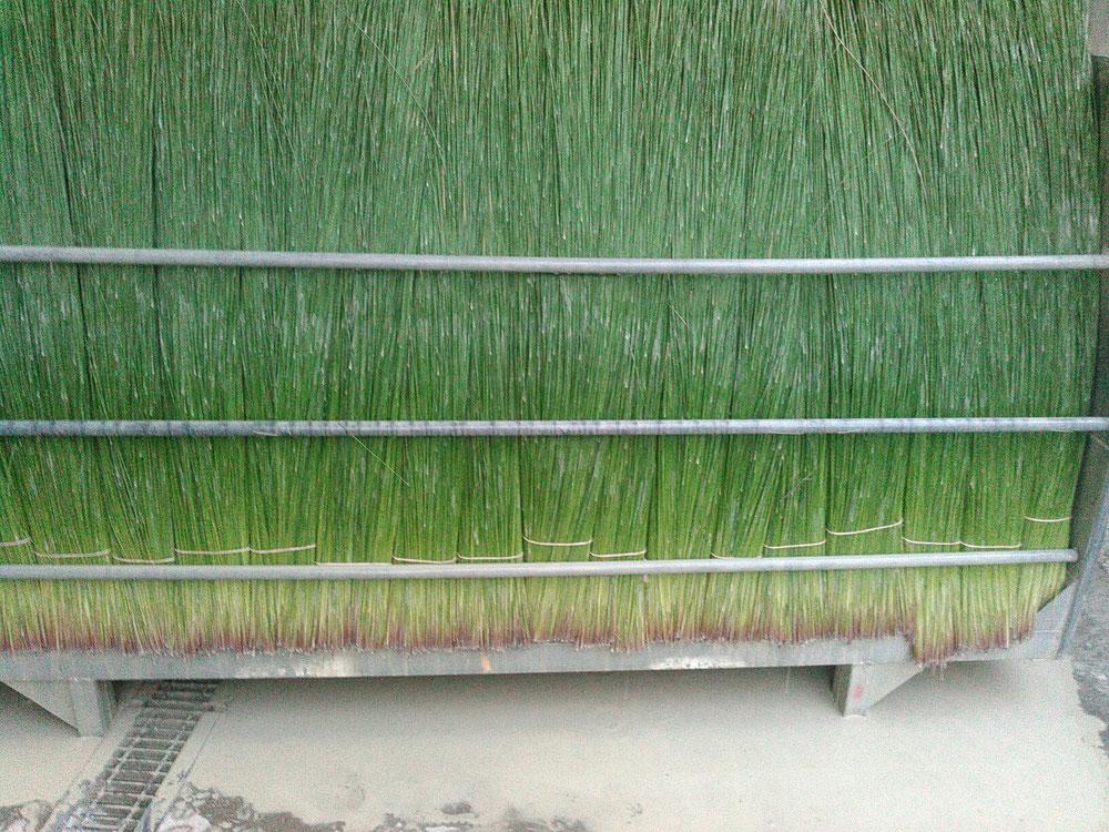い草を刈り取り、専用コンテナに手積みしたところです。