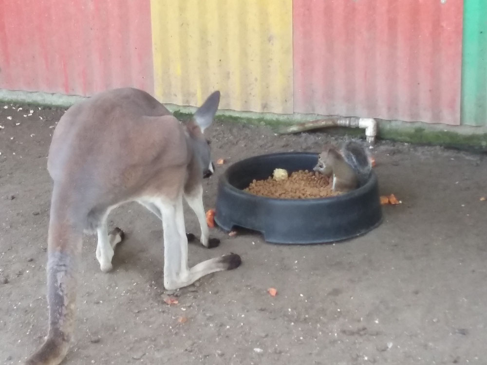 野生のリスがカンガルーのエサを一緒に仲良く食べていました。