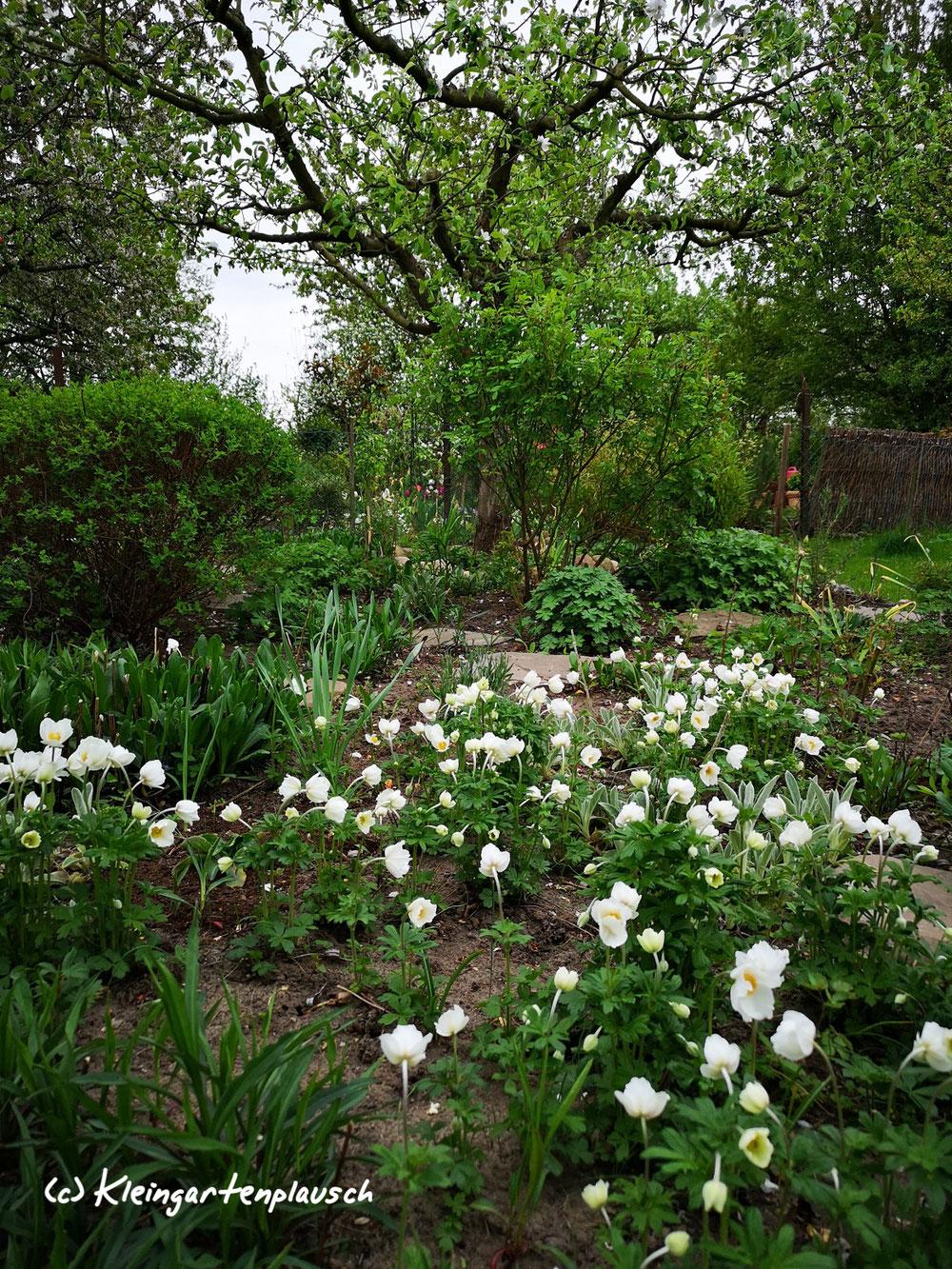 Immer eine Frühlingsschau: die hohen Buschwindröschen! Anspruchslos und trockenheitsresistent. Aber Vorsicht, es sind zähe kleine Biester, die sich auch bis in den Rasen hinein ausbreiten können.