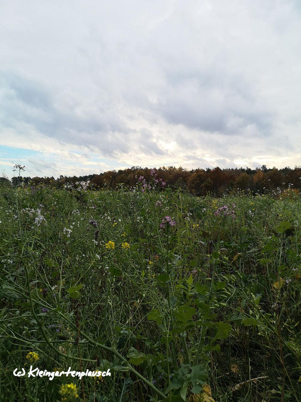 Längs des Waldpfads lag ein Feld, wo jetzt noch diverse Blumen blühten. Die Qualität für Bienen und andere Insekten vermochte ich nicht zu beurteilen, erkannte immerhin Sonnenblumen, etwas Phacelia und Gelbsenf.