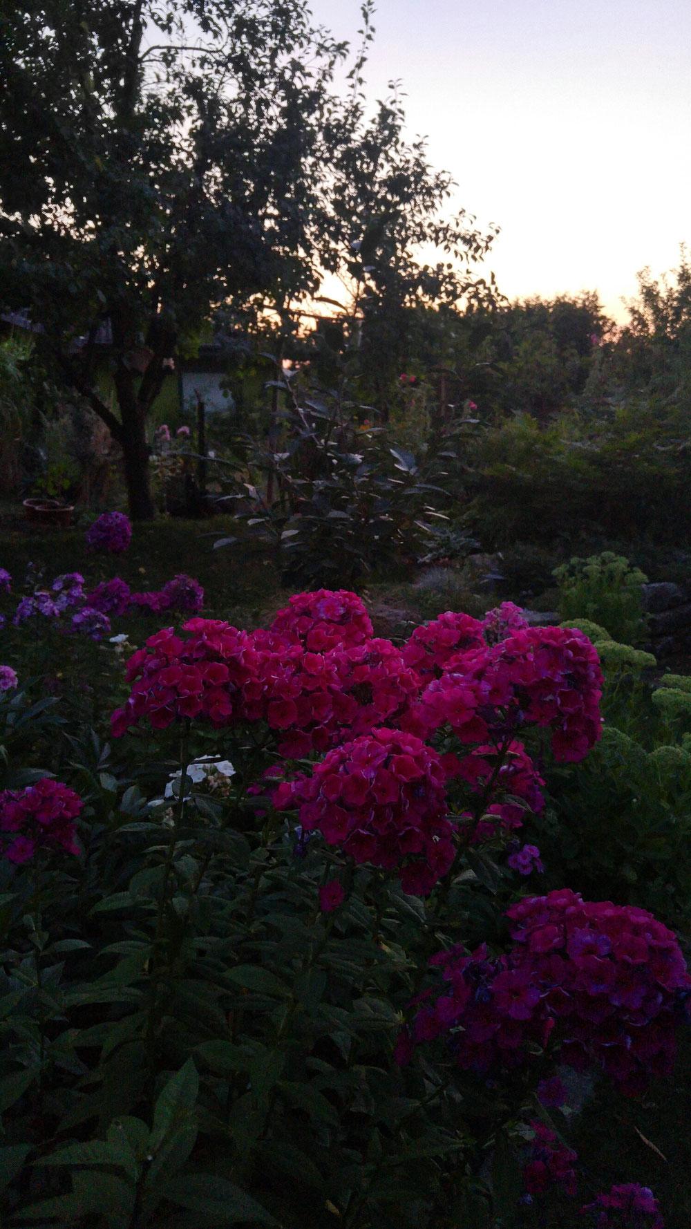Pink Noname Hero strahlt am hellsten, wenn es dunkel ist 😉: Dann nämlich sind seine hitze- und pladdergusszerfledderten Blütenblätter nicht so scharf zu erkennen, sondern nur seine wundervolle Farbe!