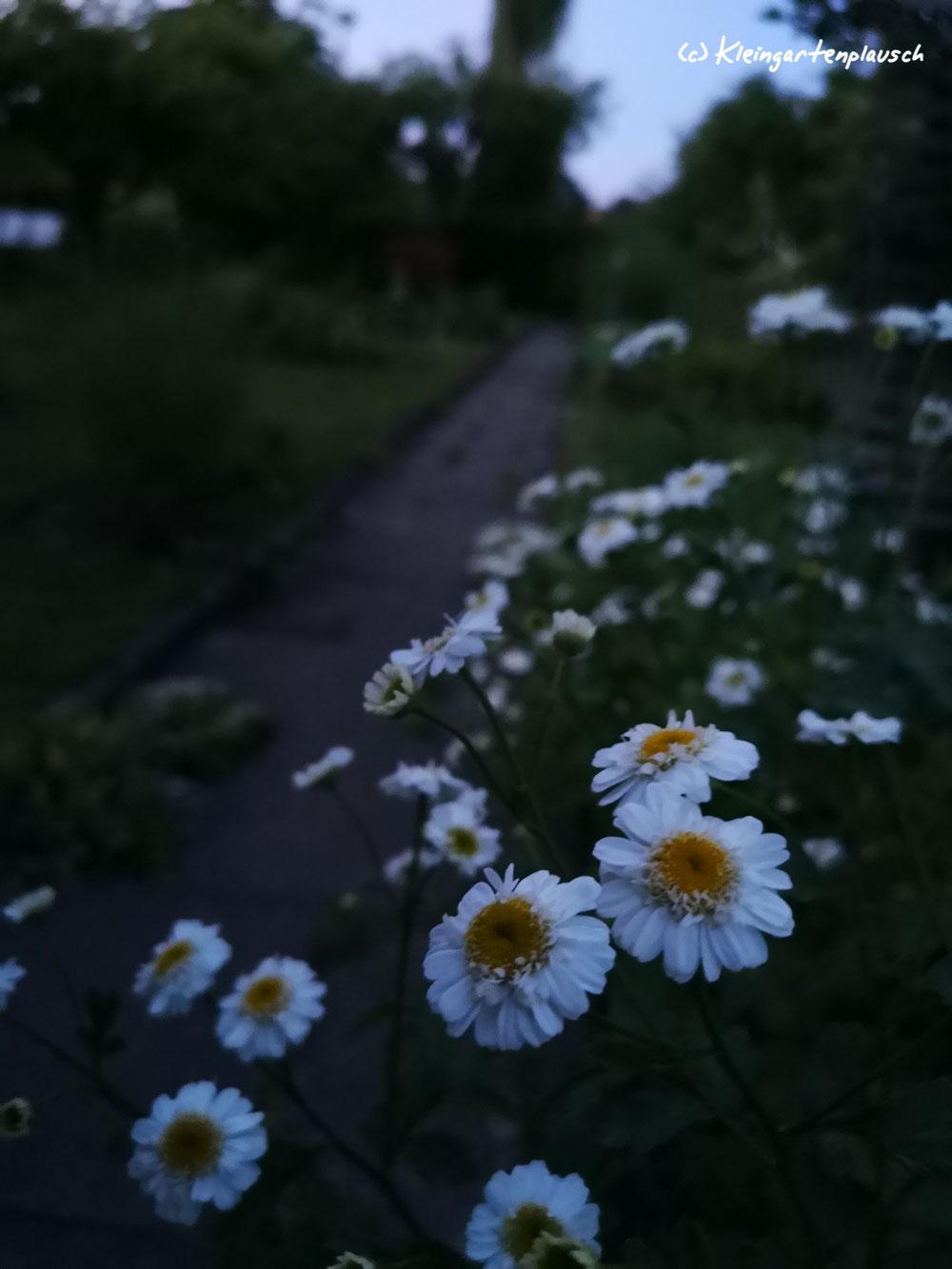 Mutterkraut, geschenkt von einer sehr lieben Gartenfreundin. Ich freue mich sehr, dass es sich wohl fühlt.