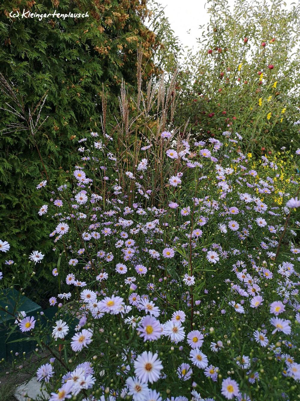 Wenn eine den Rang streitig machen kann, dann die unbekannte Garten-Wucheraster. Und die Schmetterlinge würden I h r e Stimme klar für s i e abgeben....