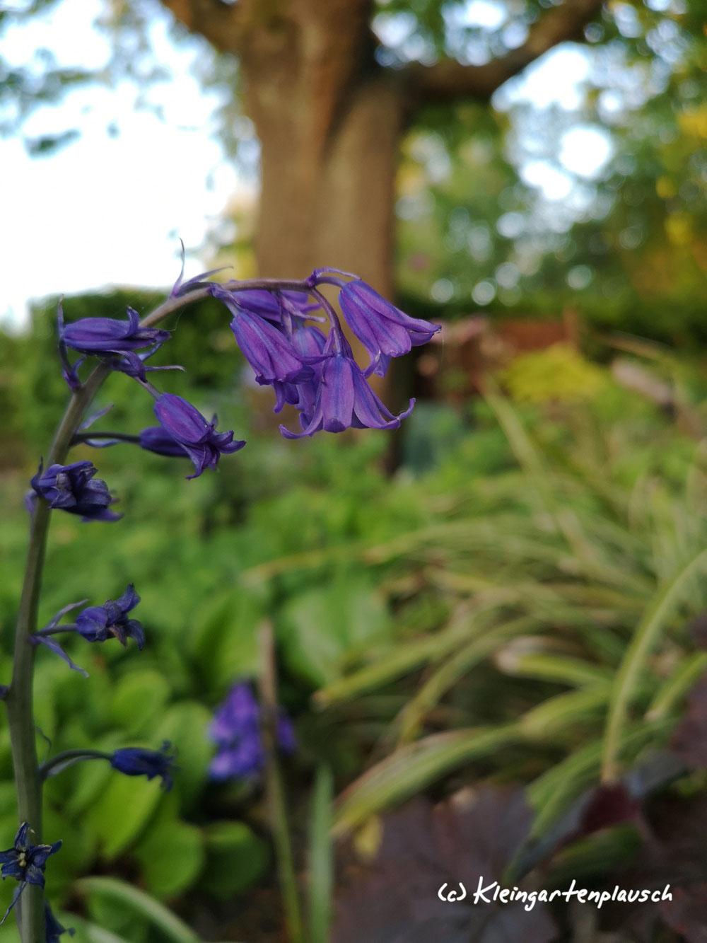 Sie haben schon etwas ausgeläutet, bewahren aber Haltung, Hyacinthoides non-scripta, Englisches Hasenglöckchen