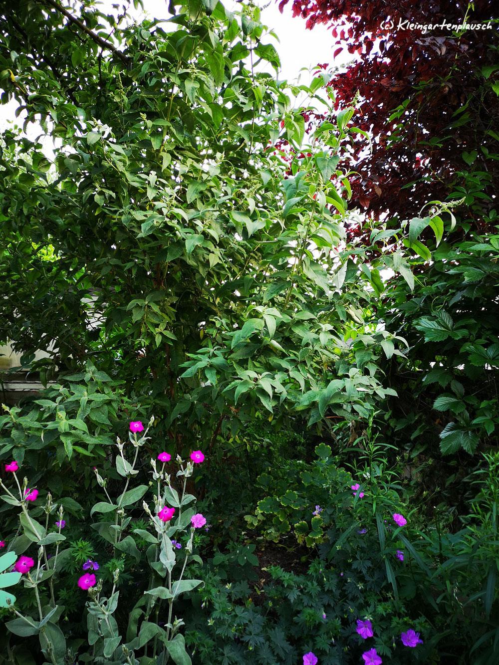 Letzter Abendschein und die in Realität dunkelpinkfarbenen Vexiernelken geben nochmal alles, unterstützt vom Storchschnabel.