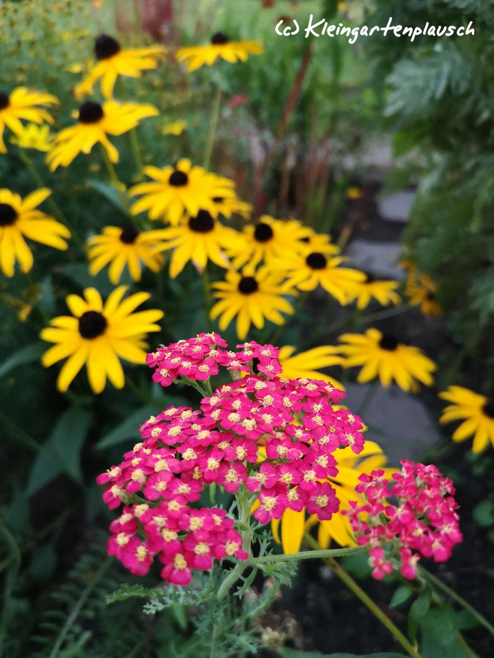 """Feuer! Sonnenhut, Rudbeckia fulgida var. sullivantii """"Goldsturm""""und Kirschschafgarbe Achillea millefolium sind ein heißes Paar..."""