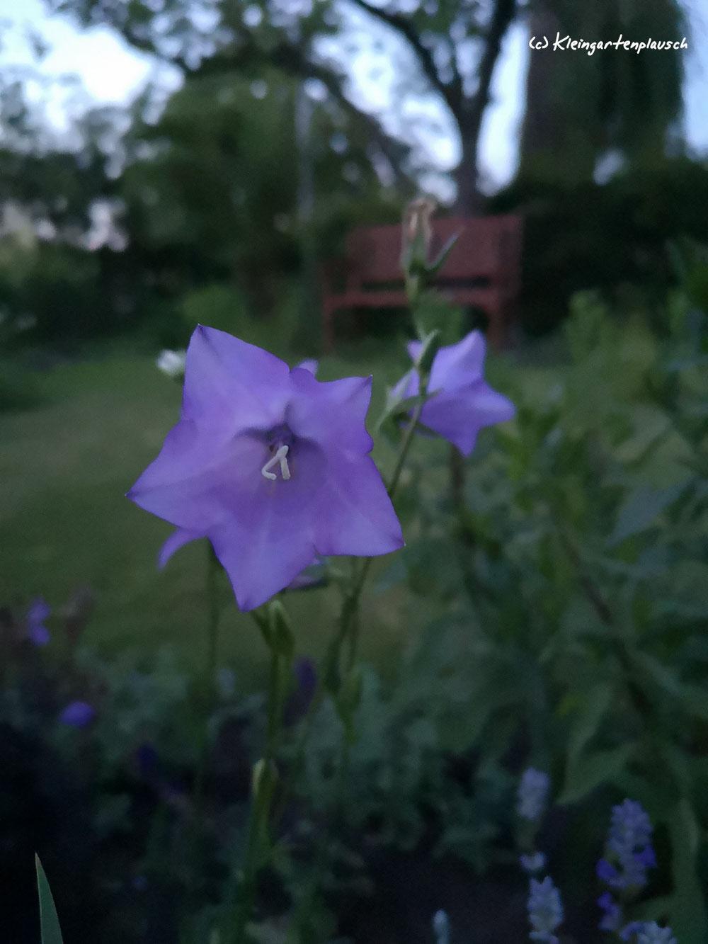Ich liebe die Leichtigkeit der pfirsichblättrigen Glockenblume. Viele verfluchen sie - ich hoffe inständig, dass sie sich ordentlich versät.