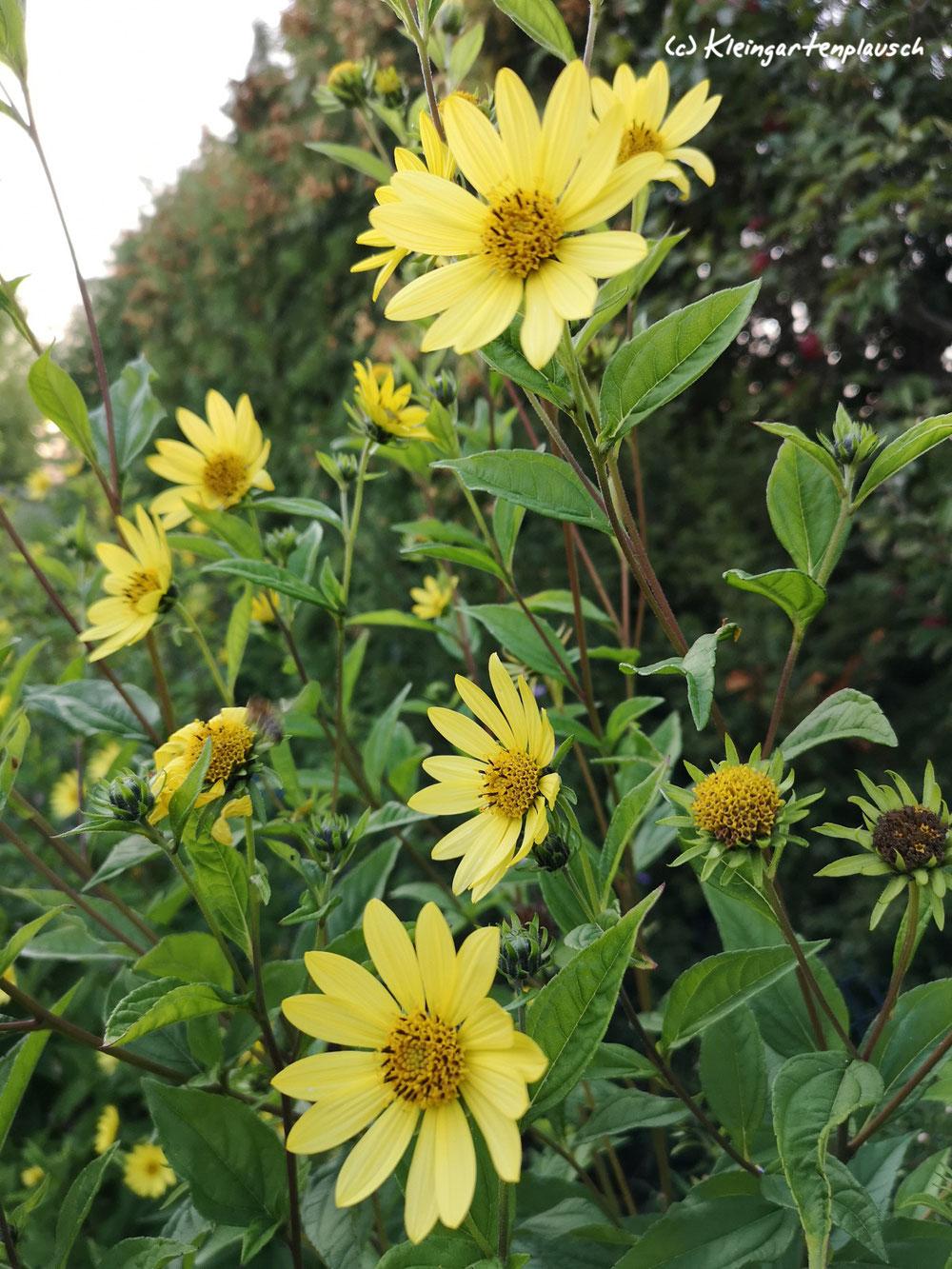 """Sonnenblume Helianthus microceohalus  """"Lemon Queen"""" ist unsere Expertin in Sachen Sichtschutz und in SachenDurchsetzung: Wie halte ich gegenüber einer Thuja Stand?"""