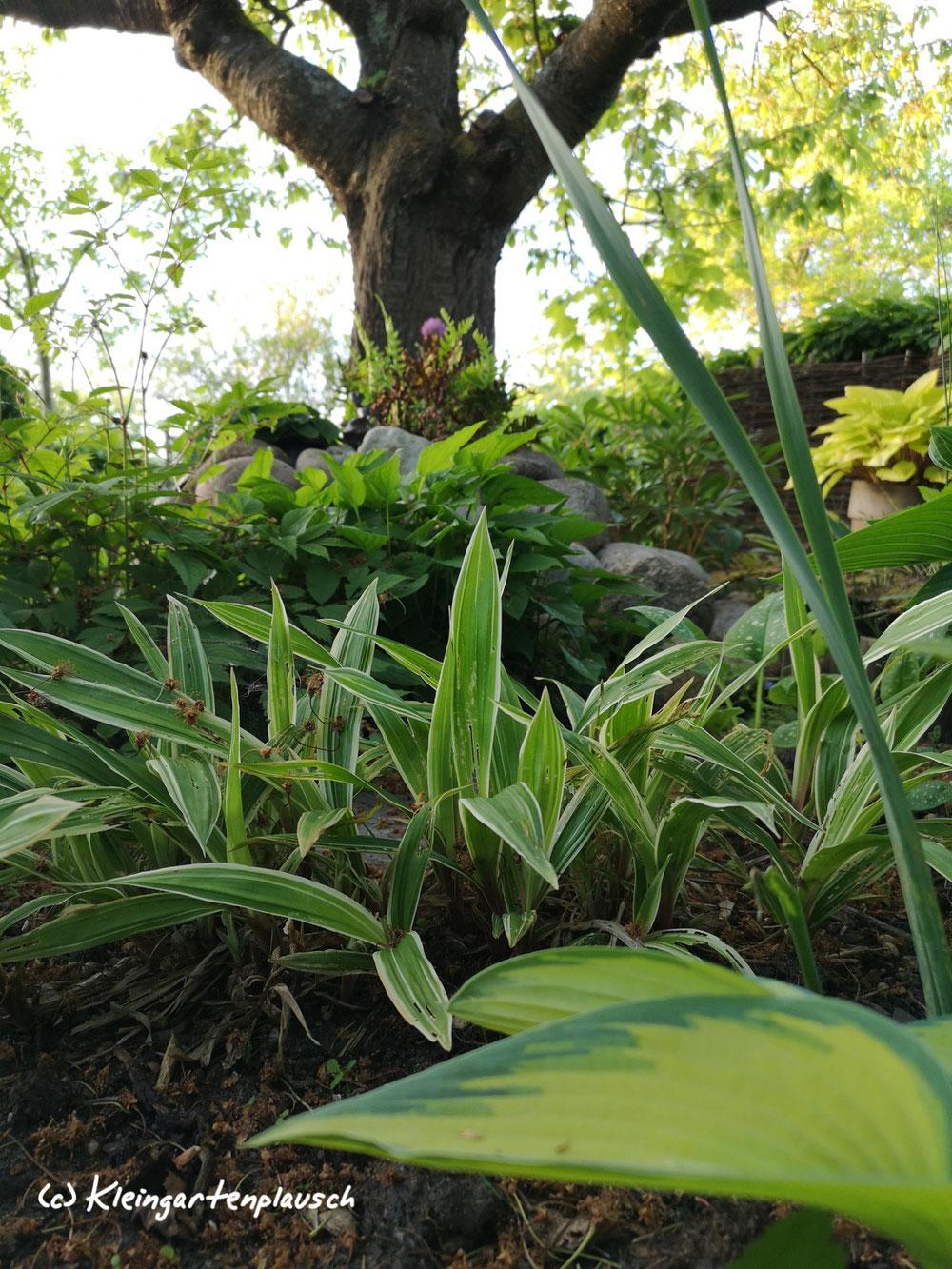 Farben, Strukturkontraste durch Carex plantaginea, Breitblattsegge und Hosta, Funkie