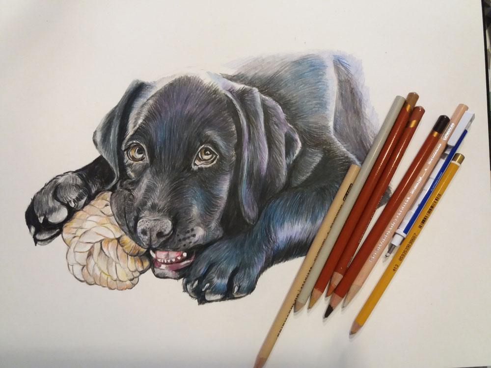 Buntstiftzeichnung Labradorwelpe auf Hahnemühle Papier