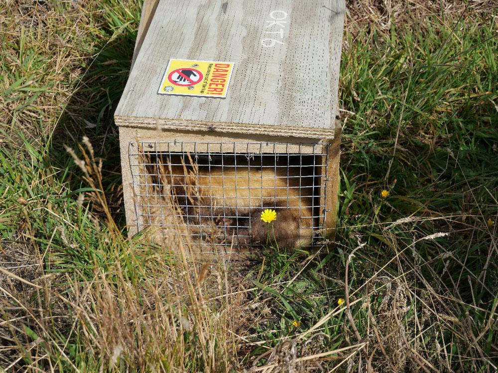 Nur ein totes Possum ist ein gutes Possum denkt sich der Neuseeländer