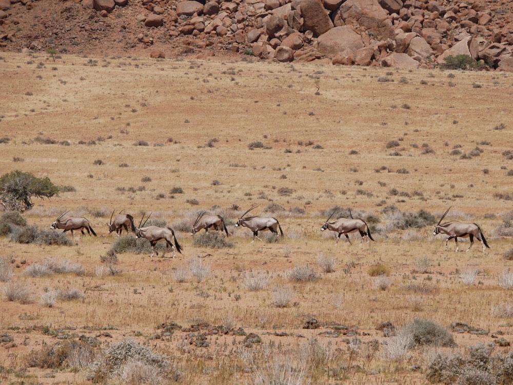 Eine ganze Herde von Antilopen