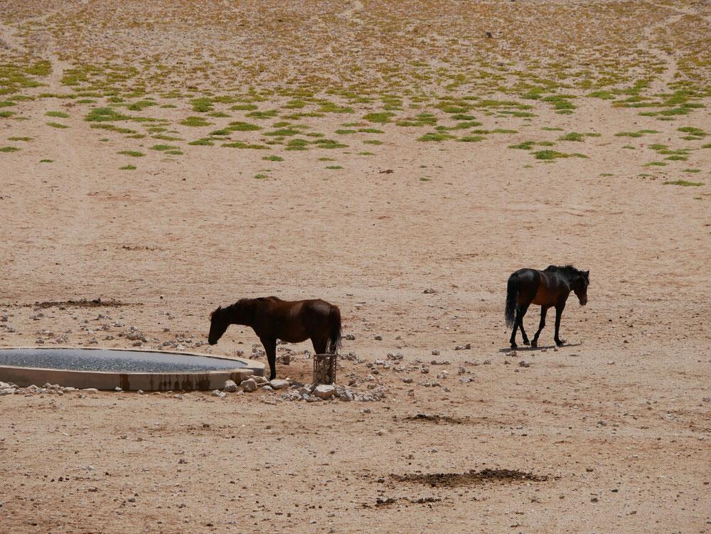 Die Wüstenpferde sind zwar vom aussterben bedroht - stinken aber wenigstens 50 Meter gegen den Wind und haben sogar ihr eigenes waterhole! Wüstenluxus pur!