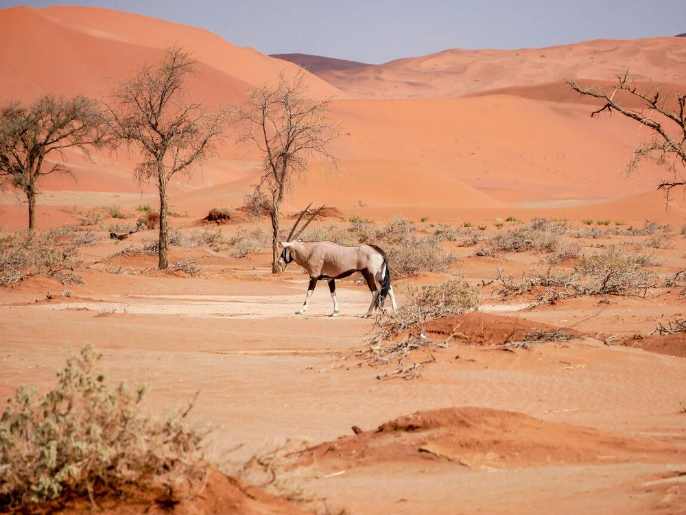 Tiere, hier starring Oryx gab es in der Wüste auch