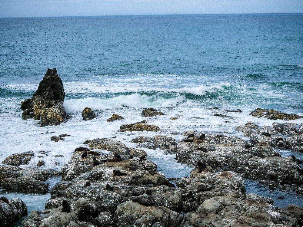 Tagelang nach Robben gesucht, jetzt mitten an der Küste Straße Richtung Norden eine ganze Kolonie entdeckt.