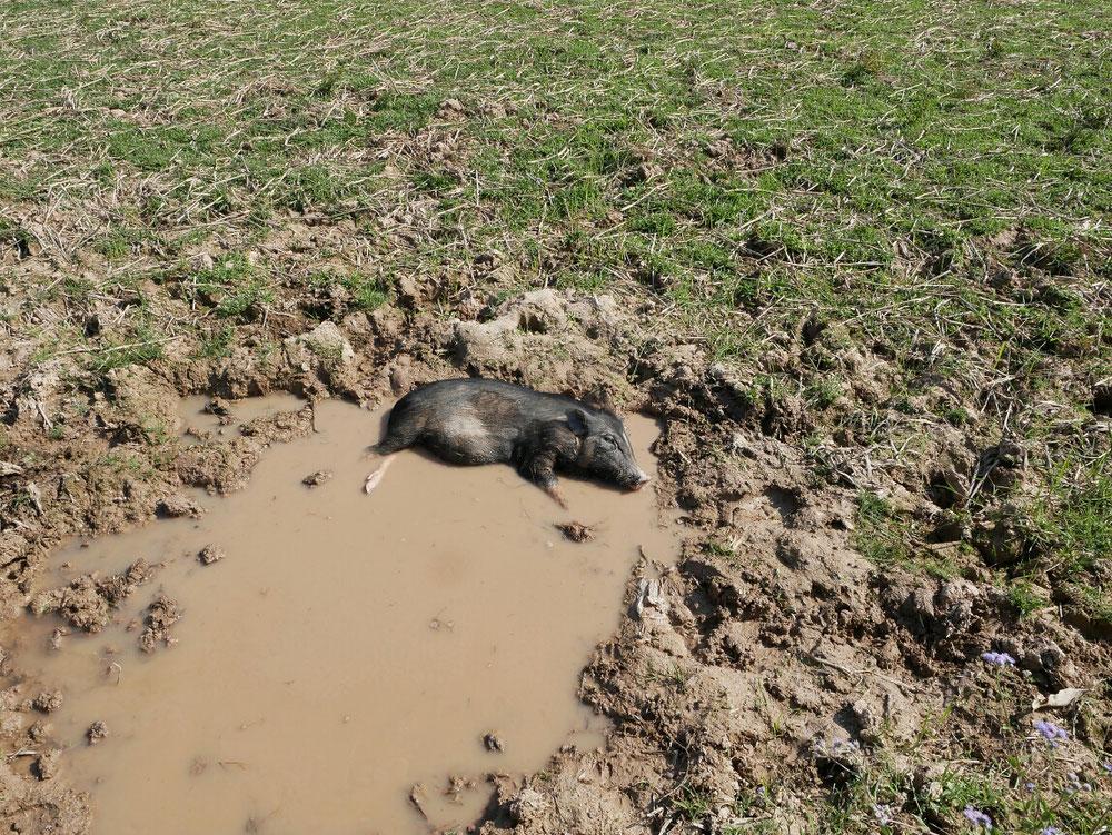 Selbst das Schwein döst im Pool, von wegen saudumm. Oder ist es etwa schon tot?
