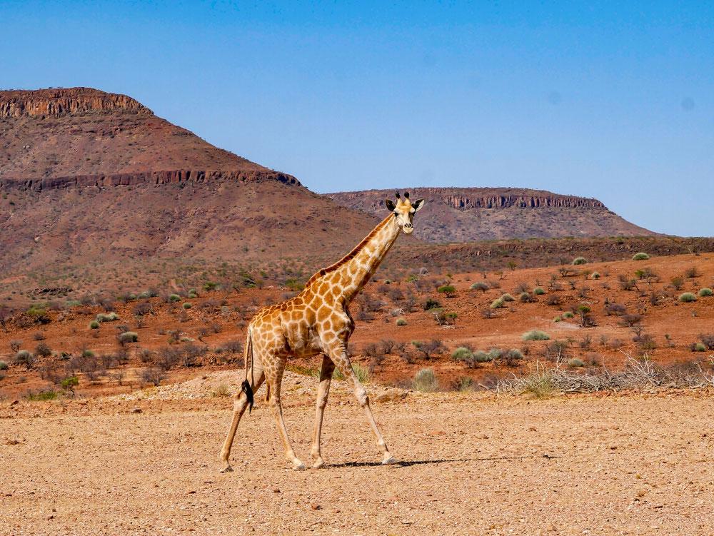 Neben der Straße trifft man mal eben eine Giraffe