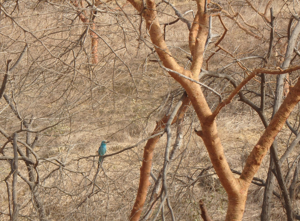 (Senegal Woodland Kingfisher) - Reserve Naturelle de Popenguine