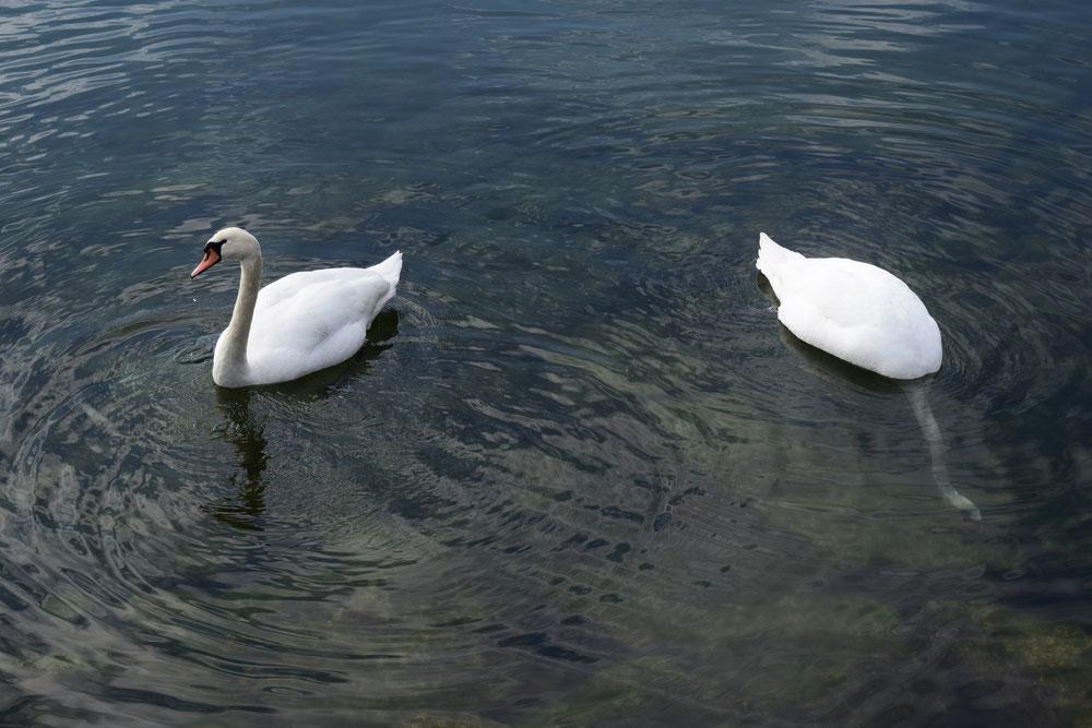 swans Lac du Bourget, France