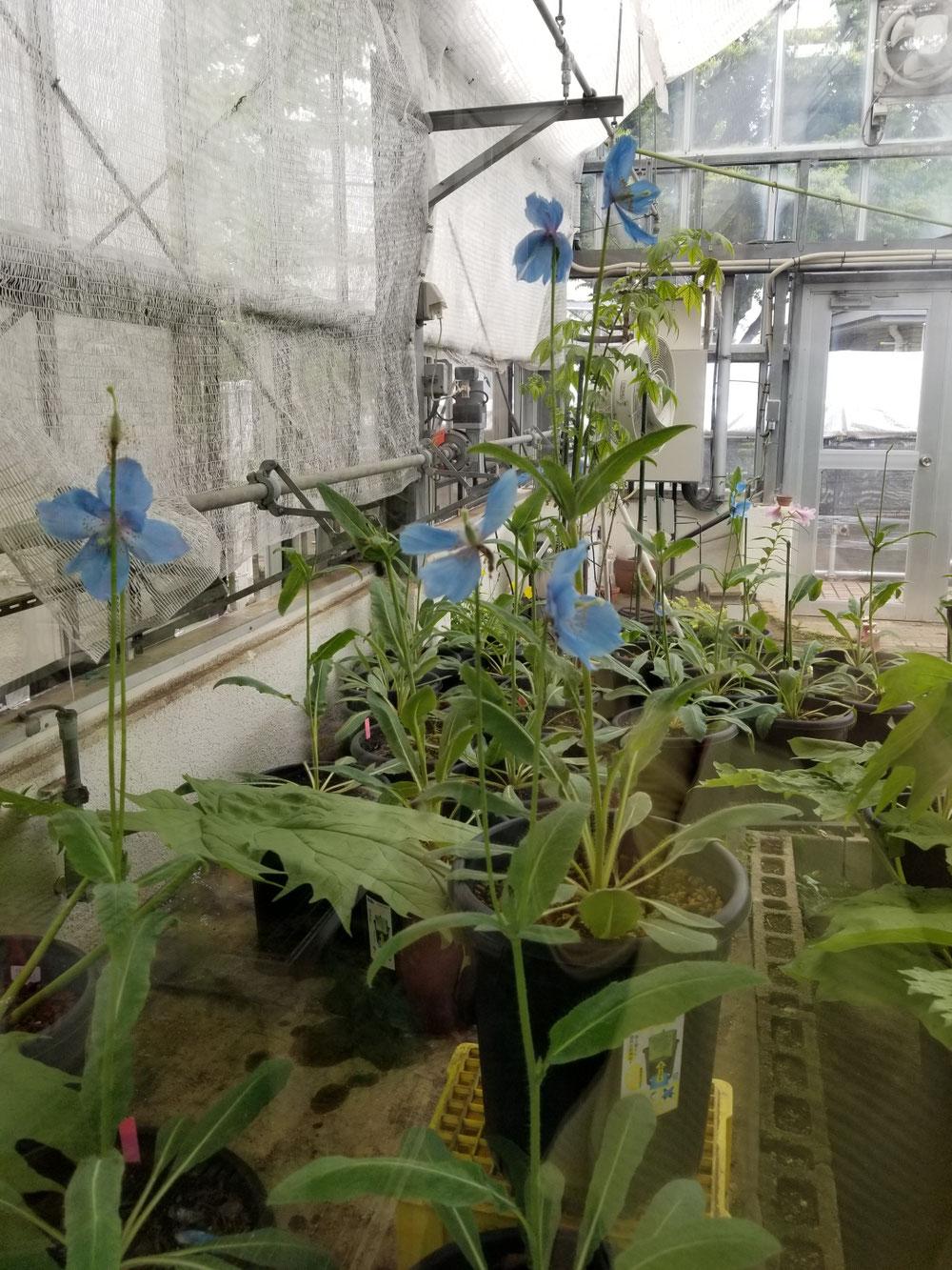 ブルーのケシの花