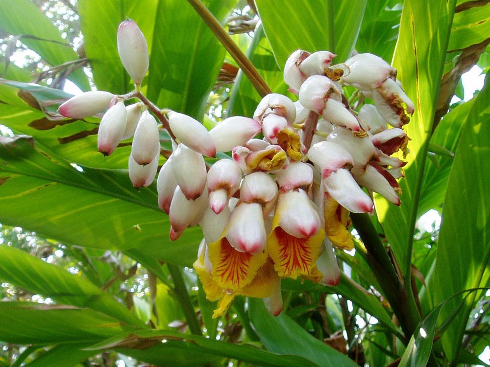 抗酸化作用、抗菌作用のある月桃