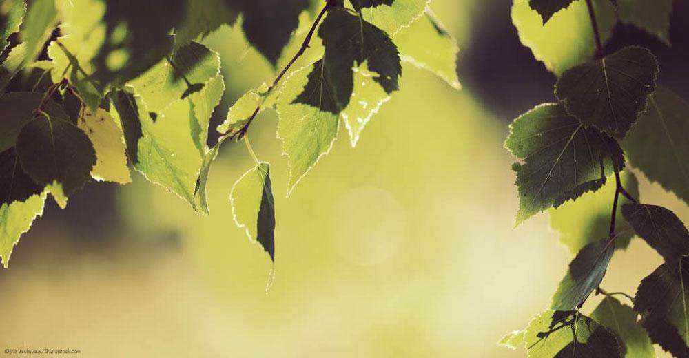Birken Wandverkleidung organisch