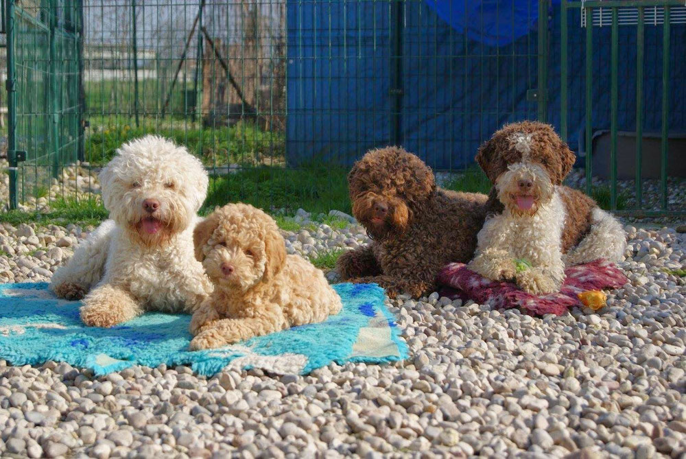 Curly Coats Lagotto Romagnolo Letzte Neuigkeiten Curly Coats Lagotto Romagnolo Zuchter Des Italienischen Wasserhundes