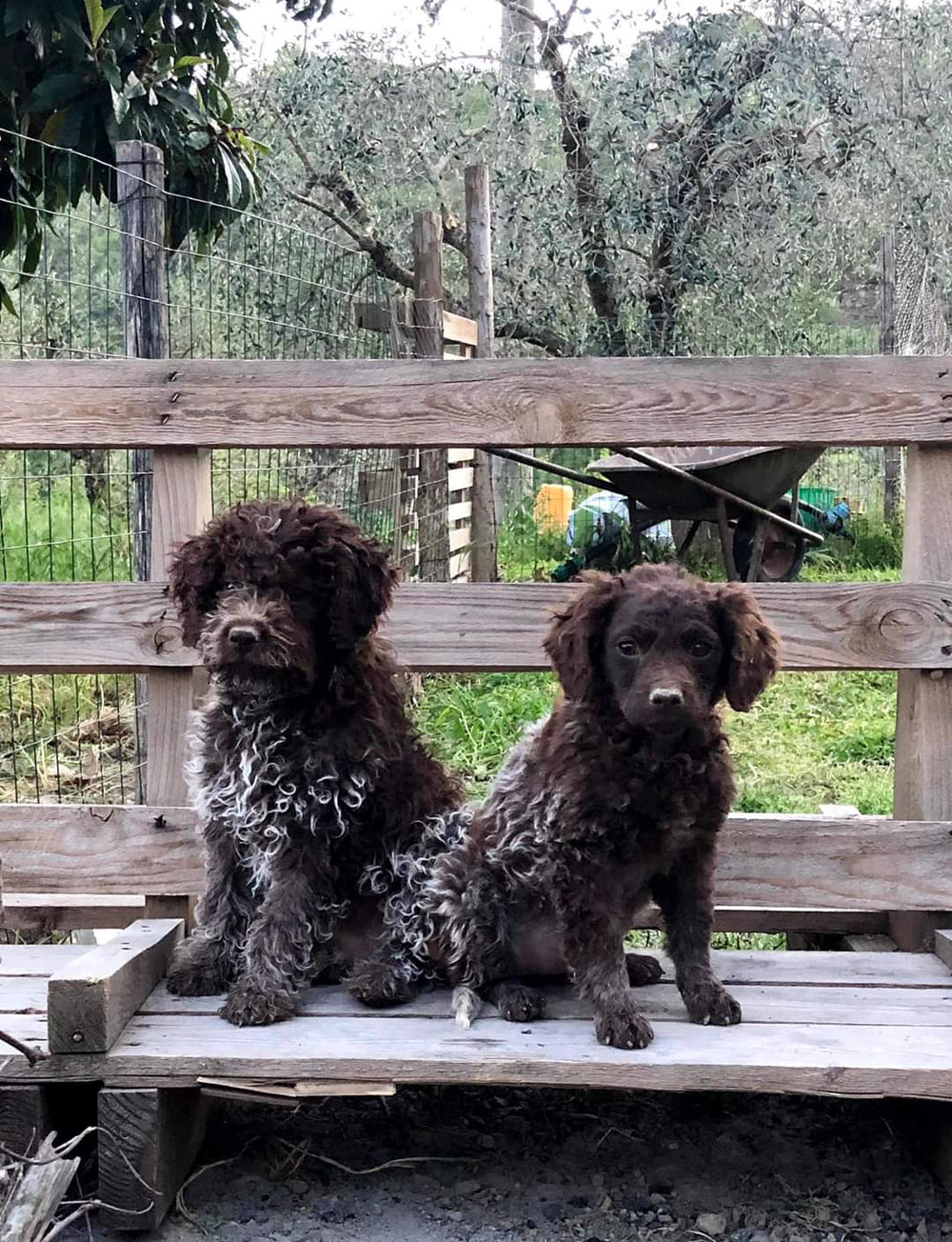 Links ein Lagotto Welpe mit korrektem Fell, links ein Kurzhaar-Lagotto.