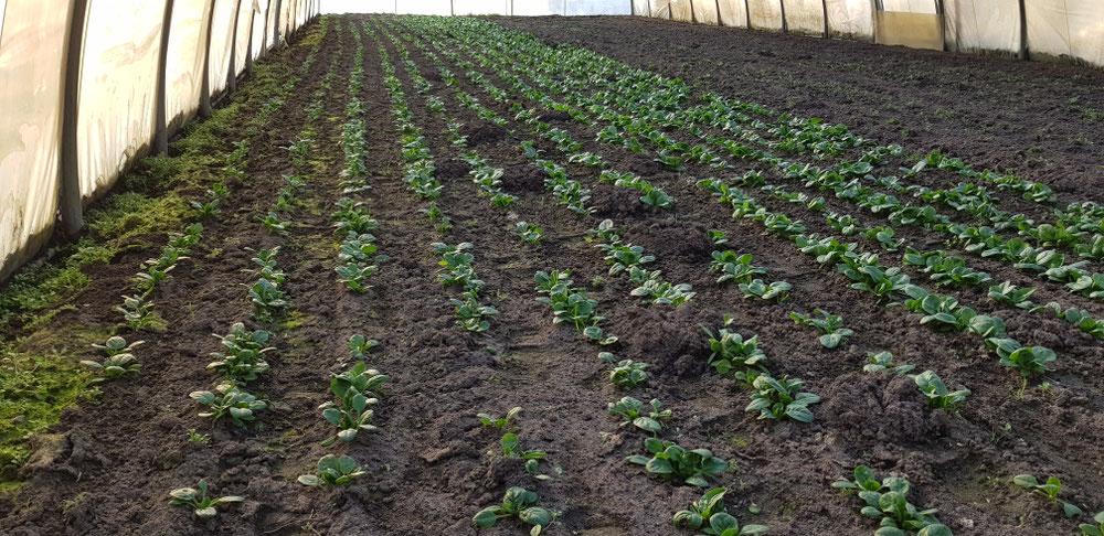 Auch der Spinat wächst schon fleißig.